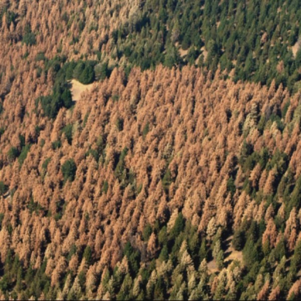'Standing dead' trees from drought, bark beetle fueling explosive wildfires