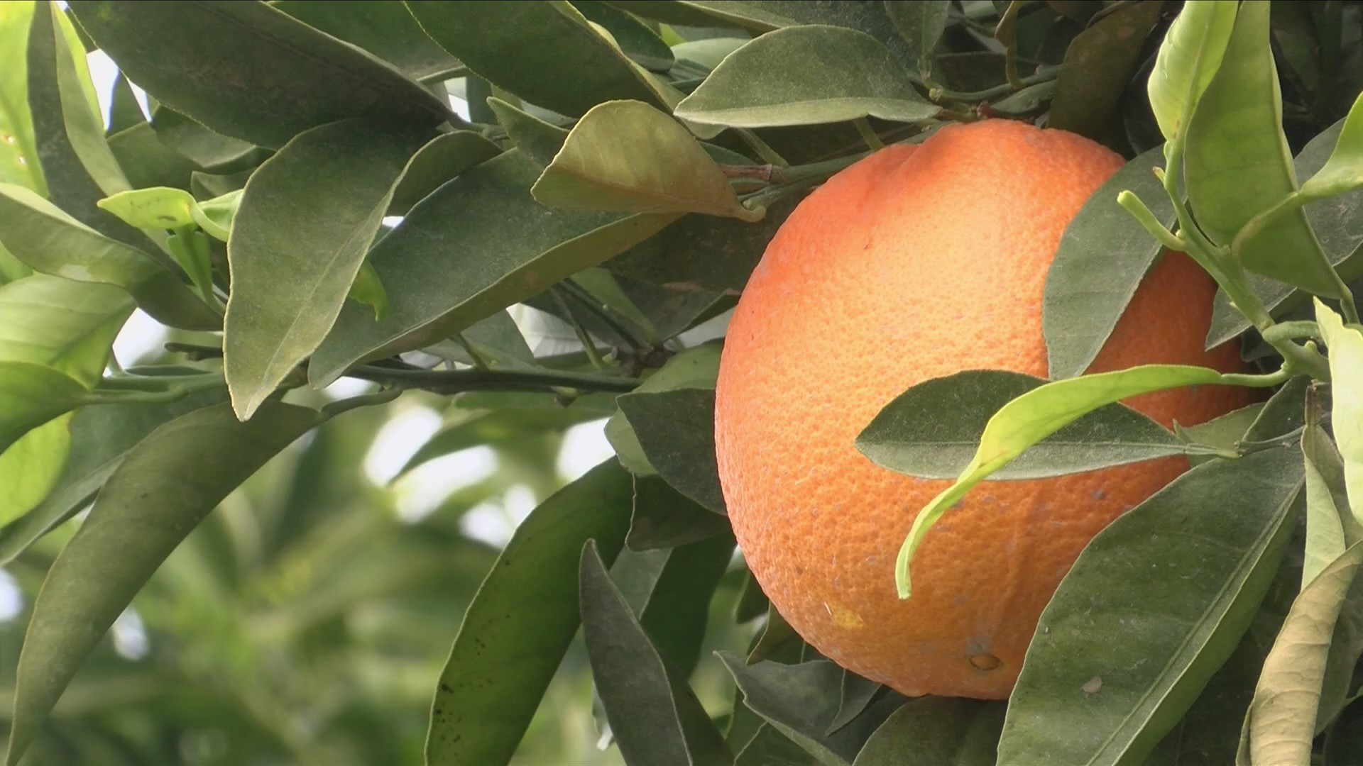 Colder temperatures could lead to sweeter fruit