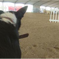 Dog livestock demos