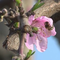 Millions of bees needed for almond bloom