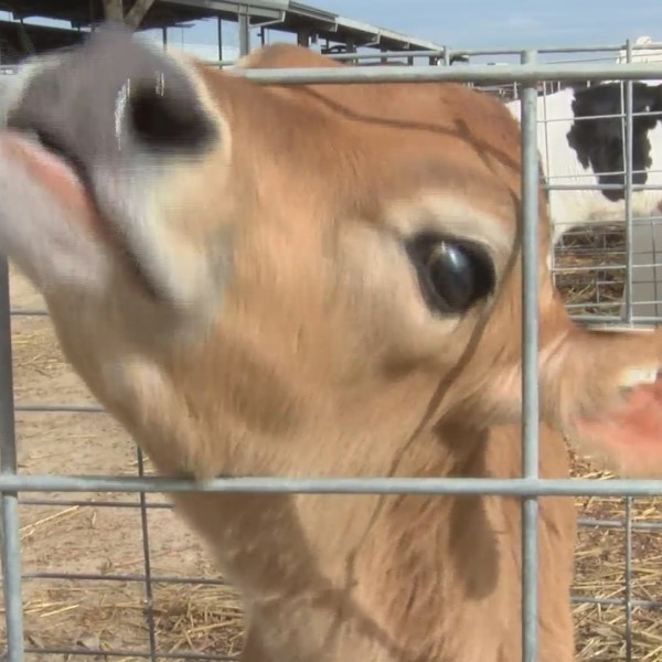 """Dating app"" launches for cows"