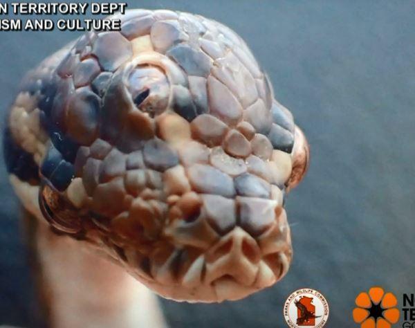 Three eyed snake