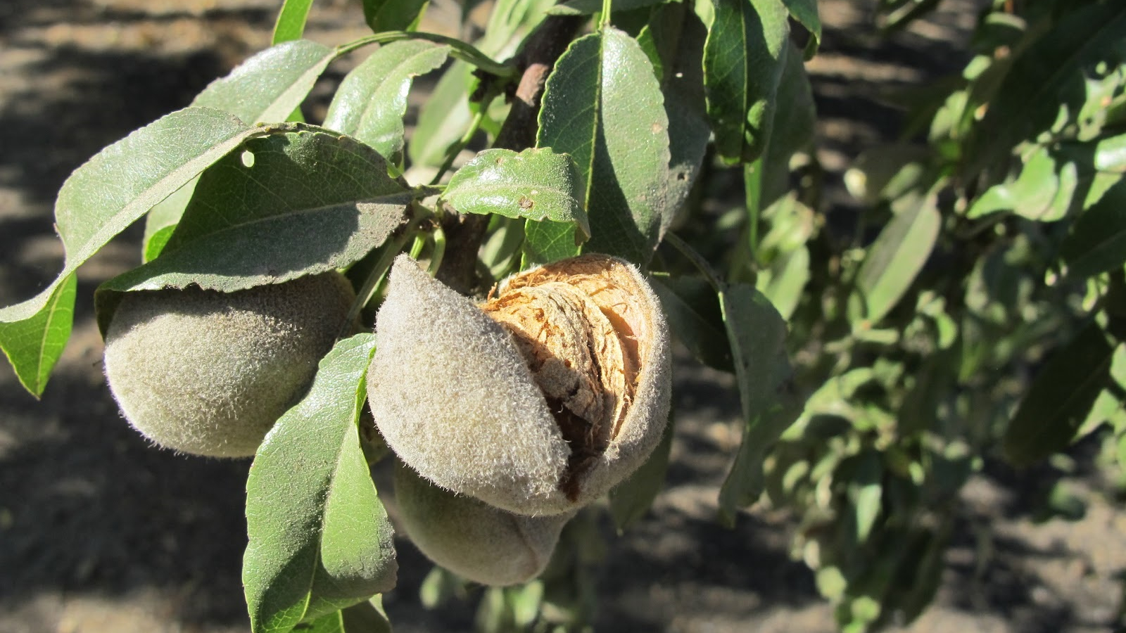 9-19 almond on tree_1558568235460.jpg.jpg