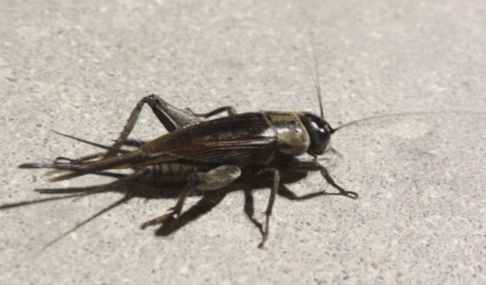 More crickets chirping this summer | YourCentralValley com