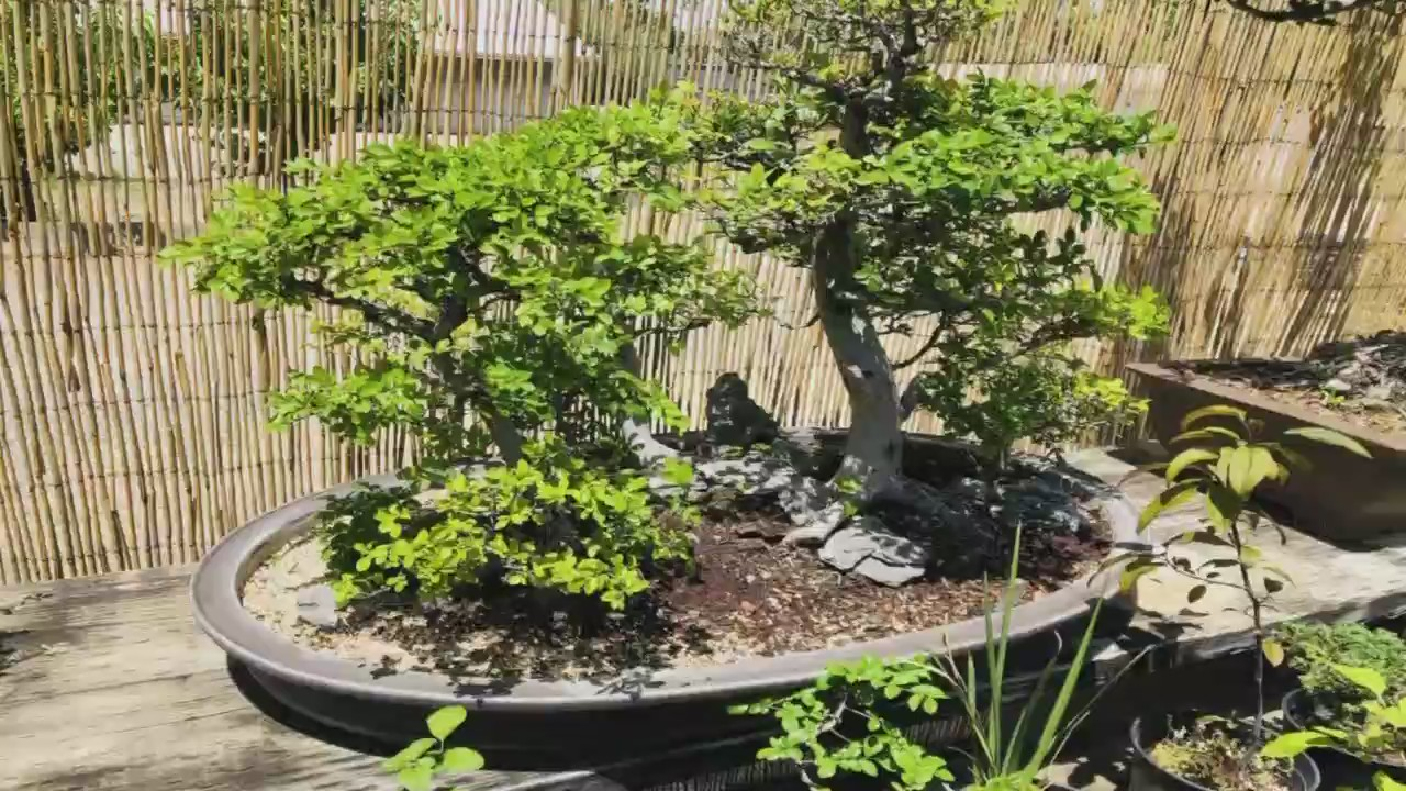 Bonsai Theft Central Fresno Nursery Robbed Of Two Trees Worth 8 000 Dollars Yourcentralvalley Com