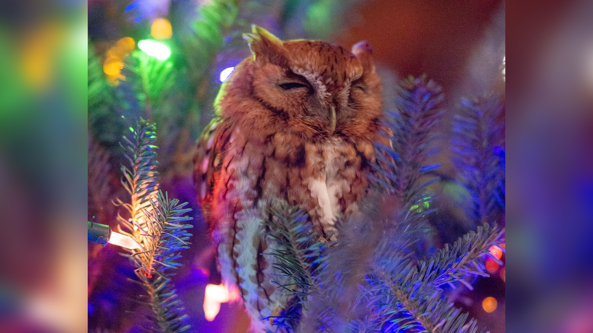 This photo provided by Billy Newman Photography shows an owl nestled in a Christmas tree that belongs to Katie McBride Newman in Newnan, Ga. Newman said Friday, Dec. 20, 2019, that she and her daughter spotted the bird on Dec. 12.