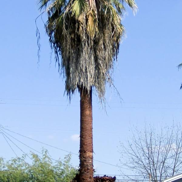 Man dies after getting stuck while trimming a palm tree in Fresno