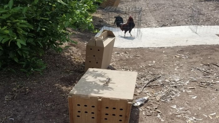 Arrest after deputies report finding caged roosters, fighting paraphernalia