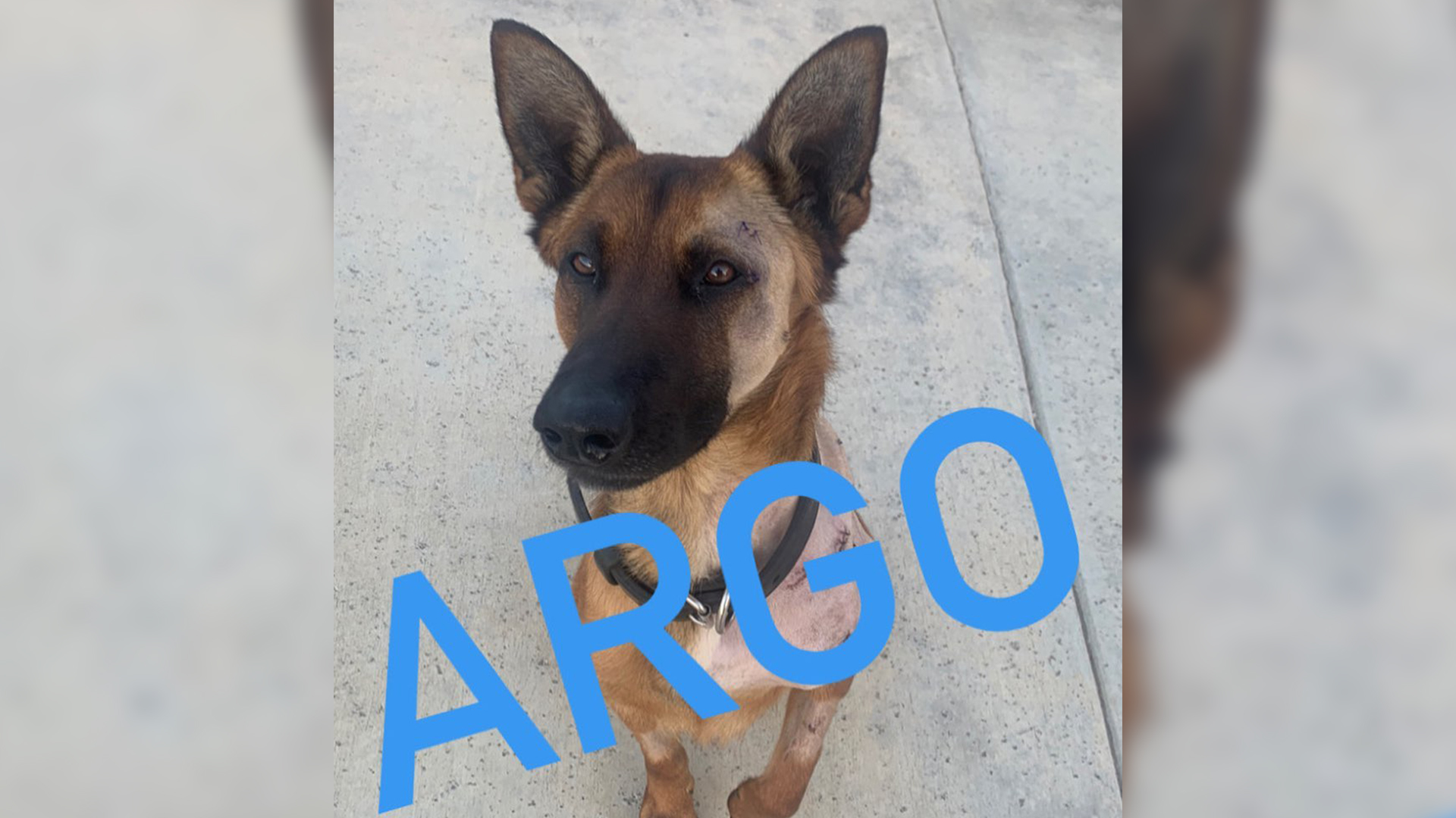 Police K9 Argo's recovery continues