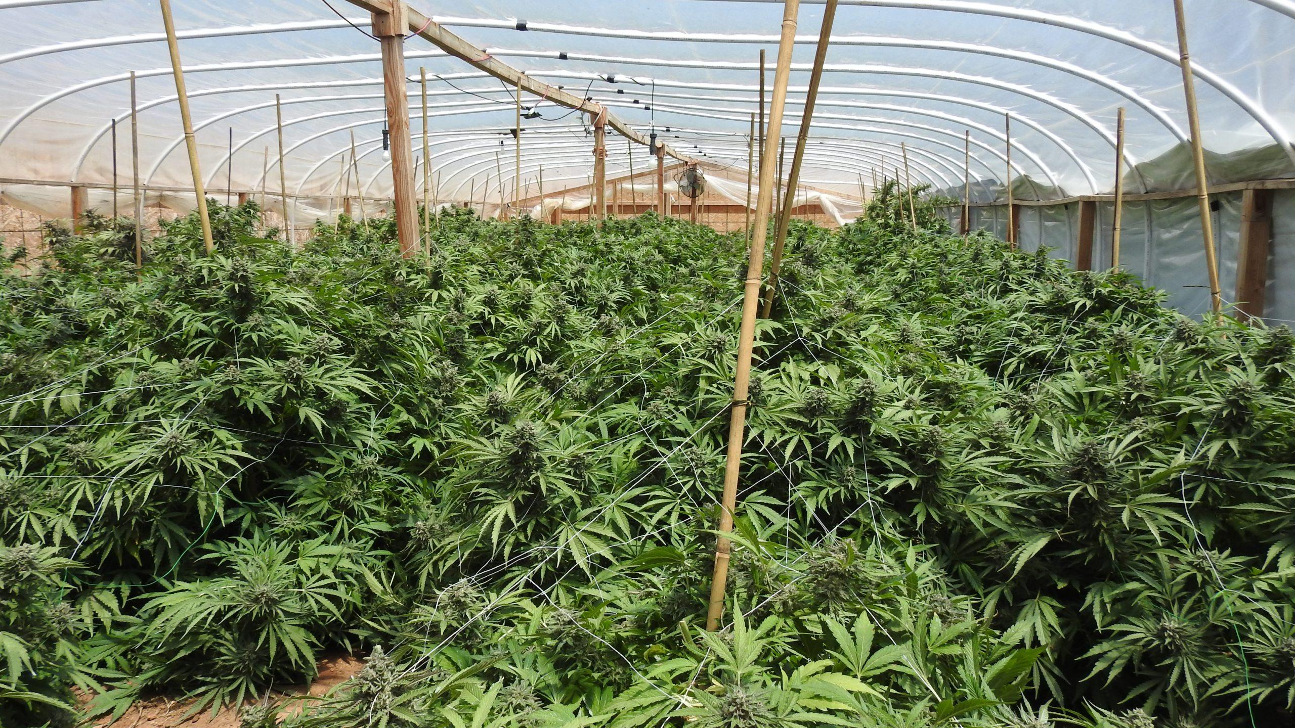 Major marijuana crackdown secures 3,000 pounds of pot, 37 arrests in Fresno County