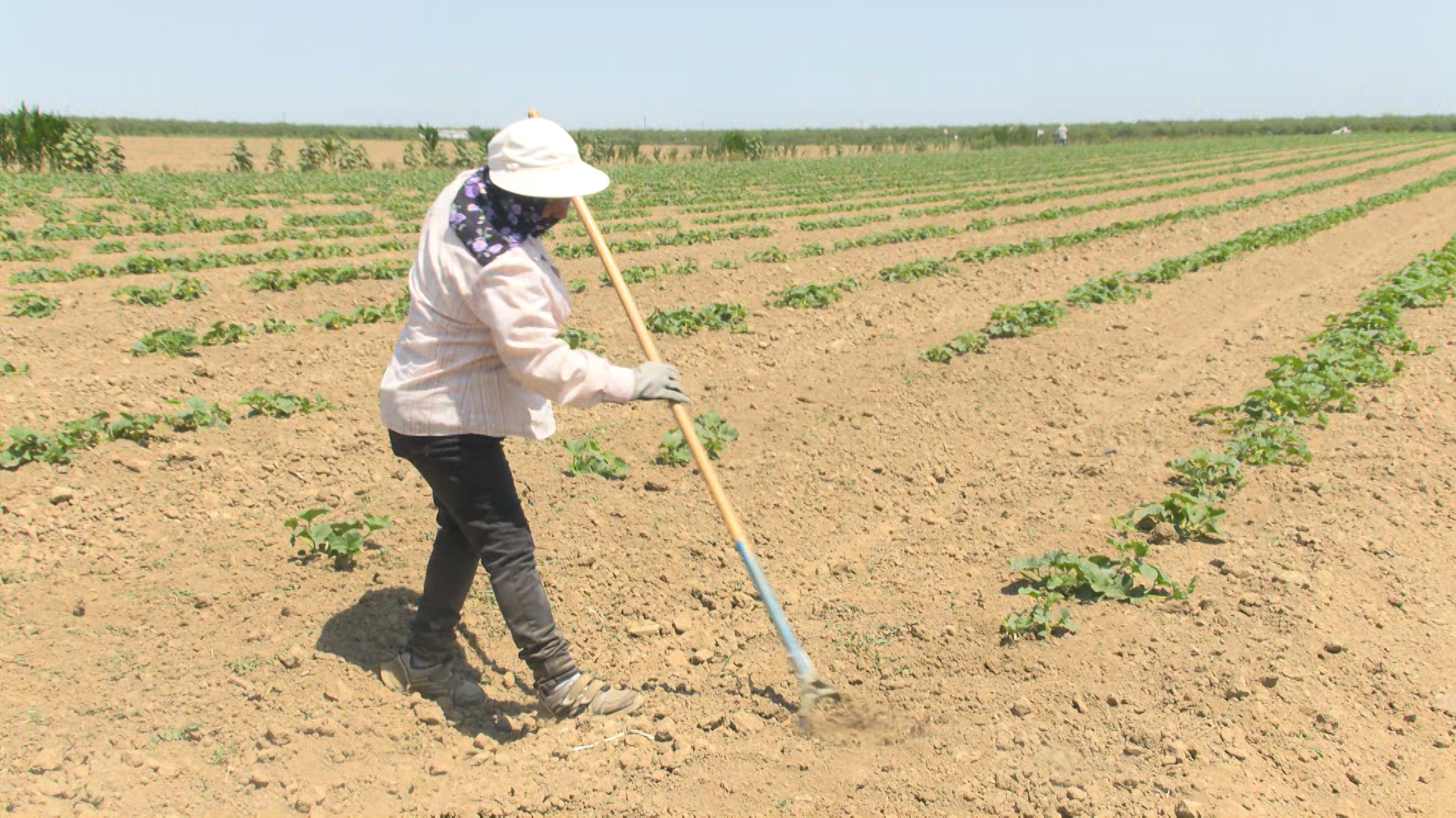 Farmworker works in the heat at Del Bosque farms